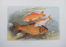 """Fish - Golden And Bronze Carp For Houghton'S """"Fresh Water Fishes"""", 1879"""