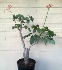 Jatropha podagrica Buddha Belly - Rare Succulent Caudex Bonsai WELL ROOTED PLANT