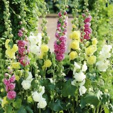Flower Hollyhock Chaters Double Mix - 200 seeds