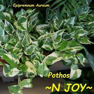 ~N-JOY POTHOS~ Vine LIVE POTTED HOUSEPLANT NOT BARE ROOT! 2-3 Plants per POT