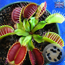DIONAEA MUSCIPULA, Giant Venus Fly Trap, Carnivorous Plant-10 Fresh Viable Seeds