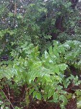 Five PNW Oregon Grape Mahonia Aquifolium Decorative Evergreen groundcover Plants