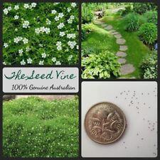 500+ SAGINA IRISH MOSS SEEDS (Sagina subulata) Ground Cover Flowers Landscape