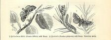 Stampa antica FARFALLE Cosmia diffinis BUTTERFLIES 1891 Old antique print