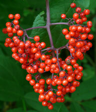 Roter Holunder  50 Samen Sambucus Racemosa