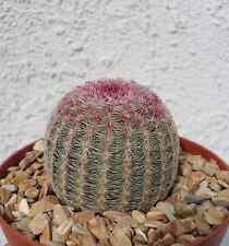 Rainbow Hedgehog Cactus-Echinocereus Rigidissimus v Rubrispinus