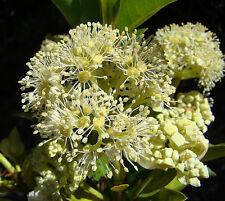 Hydrangea serratifolia Canelilla 20 seeds