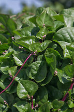 50 Red Vine Malabar Spinach Vegetable Seeds – Basella Rubra Ceylon NON-GMO