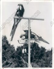 1974 Weeki Wachee Springs FL There are Trained Macaws & Cockatoos Press Photo