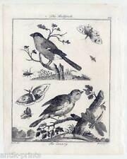 Ornithologie-Kanarienvogel-Gimpel-Canary-Bullfinch-Kupferstich 1800 Vögel-Vogel