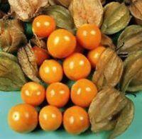 Physalis edulis - Cape Gooseberry - 250 Seeds