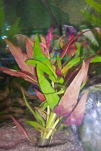 1 Bund Papageienblatt / Althernanthera rosaefolia Aquariumpflanze Wasserpflanze