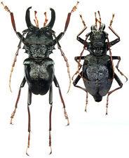 Insect - Prionocalus cacicus - Peru - Pair 50~55mm ....!!