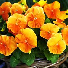 Pensamiento naranja seeds-Swiss pensamiento-viola wittrockiana - 550 semillas