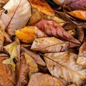 50Pcs Catappa Indian Almond Leaves Dried Ketapang Shrimp Betta Fish Aquarium new