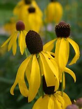 Yellow Coneflower (Ratibida pinnata) x 50 seeds. Prairie flower. Combined post.