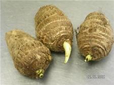 3 LIVE Colocasia Esculenta Elephant Ear Taro Gabi Kalo Eddo Bulbs FAST GROWING