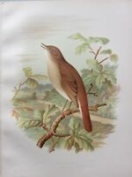 1907 Antico Uccello Stampa ~ Nightingale