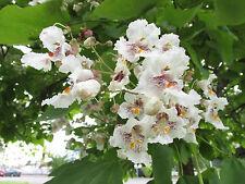 20 Samen TROMPETENBAUM - CATALPA BIGNONIOIDES , Bienenweide Imkerei Imker Biene