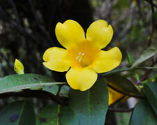 CAROLINA JASMINE gelsemium sempervirens vine rare fragrant flower seed 5 SEEDS