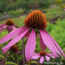 Sonnenhut Echinacea purpurea Flame Thrower 1x Pflanzfertige Garten Staude