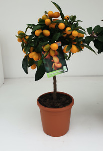 Kumquat Tree (5L pot)