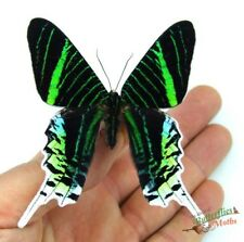Green banded urania moth Urania leilus SET x1 taxidermy pinned insect art design
