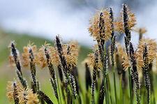 ornamental grass 311 seeds BLACK FLOWERS, Carex Obnupta sedge, evergreen