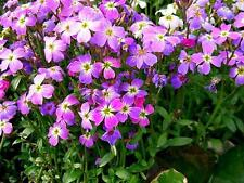 FLOWER VIRGINIA STOCK MALCOMIA MARITIMA 4500 SEEDS