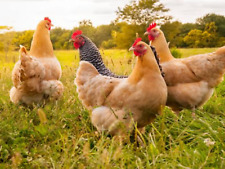 Chicken Forage Mix,Approx 100 grams,EXCELLENT NUTRITION VALUES....
