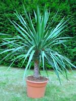 Seeds Rare Dracaena Dragon Tree Flower Perennial Indoor Garden Organic Ukraine