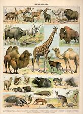 A3 Poster - Antique Illustration of Animals c1897 (Vintage Veterinary Picture)