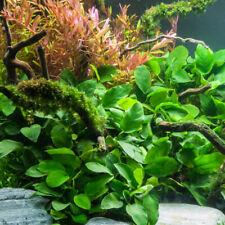 *Buy 2 Get 1 Free* Anubias Barteri Easy Live Fish Tank Aquatic Aquarium Plants ✅