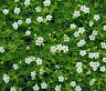 IRISH MOSS PEARLWORT Sagina Subulata - 10,000 Bulk Seeds