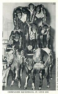 Vintage Postcard Chimpanzee Equestrians St. Louis Zoo Monkey's and Ponies