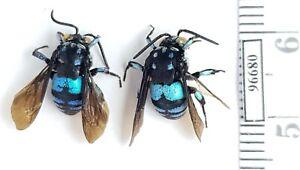 Hymenoptera Apidae sp. Indonesia, W Papua