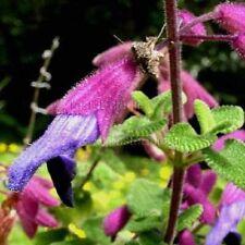 Salvia semiatrata bright purple flowers cottage plant in 100mm pot