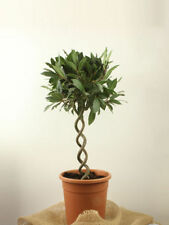 Laurus Partial Shade Ornamental Trees