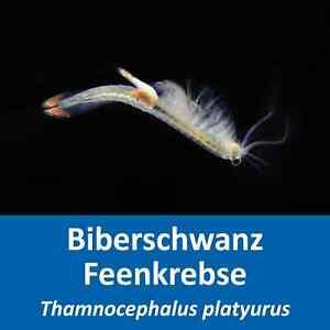 Biberschwanz Feenkrebse - Thamnocephalus platyurus - Eier - mit Anleitung