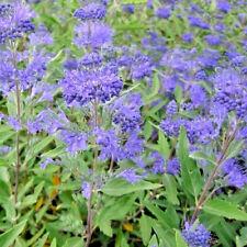 Caryopteris clandonensis 'Heavenly Blue' Large Plug Plants x 3 Flowering Shrub