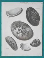 CONCHOLOGY Sea Shells Genus Haliotis Abalone - 1820 A. REES Antique Print