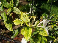 Lonicera japonica Aureo-reticulata Golden net Honeysuckle 8 seeds