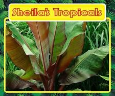 Red Abyssinian Banana - Ensete Maurelii (Limited Supply)