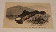 1883 magazine engraving ~ Goby Going Into The Water