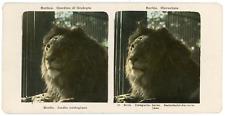 Stereo Allemagne, Deutschland, Berlin, Zoo, lion, Löwe, circa 1910, colorisée Vi