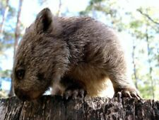 Cool Wombat Glossy Poster Picture Photo marsupial australia tasmania animals 311