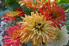 Giant Cactus Double Mix ZINNIA 40+ chrysanthemum type flowers all summer long