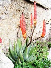 Aloe Reitzii, exotic Silver Gray color succulent rare cactus red seed 30 Seeds