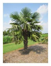 Trachycarpus fortunei -Chusan Palm, Chinese Windmill Palm Plant in 9 cm pot