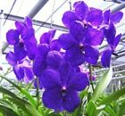 VANDA PACHARA DELIGHT 'PACHARA' FCC/JOGA, ORCHID PLANT SHIPPED IN 3